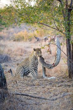 Life in the wild isn't as easy going though, as this python in Sabi Sands, South Africa, found out when a leopard pulled it out of a tree and ate it...