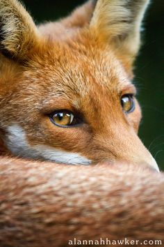 red fox portrait | animal + wildlife photography