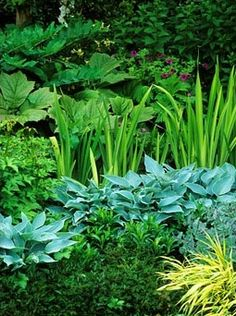 Green summer border with Hosta, Iris and Rodgersia at Eastgrove Cottage Garden in Worcestershire