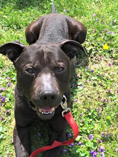 Evan available from Adopt a Pit Rescue in Germantown, Ohio
