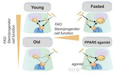 Fasting Activates Fatty Acid Oxidation to Enhance Intestinal Stem Cell Function during Homeostasis and Aging - http://www.bioadvisers.com/fasting-activates-fatty-acid-oxidation-enhance-intestinal-stem-cell-function-homeostasis-aging/