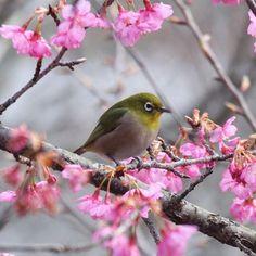 【yossy3418】さんのInstagramをピンしています。 《#メジロ #ヒカンザクラ #桜 #花フレンド #はなまっぷ #ザ花部 #花撮り隊 #wp_まっぷ花まつり #wp_flower #mydailyflower #loves_garden #loves_nippon #icu_japan #gf_japan #team_jp_ #team_jp_西(岡山) #team_jp_flower #setouchigram37 #bestjapanpics #art_of_japan_ #japan_daytime_view #キタムラ写真投稿 #pkt_japan #phos_japan #風景 #scenery #nature #鳥 * * * 📮2017.2.7📮 おはようございます🤗 またまた寒い朝ですね🌀 ヒカンザクラとメジロのサクジロー撮れました💕✨🌸 (岡山県岡山市)》