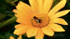 Sawfly and yellow flower