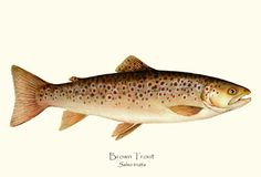 Brown Trout fish print; illustration by Artist Brenda Guild Gillespie, $19.95