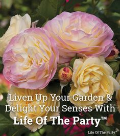 Life of the Party™ This loverly lady is ready to get the party started in your garden. Her blooms have a powerful fragrance of fruit and citrus. The scent draws people in to take a closer look at her old-fashioned blooms of soft yellow that finish with a Garden Art, Garden Plants, Garden Design, Garden Kids, Garden Sofa, Dream Garden, Green Life, Go Green, Organic Gardening