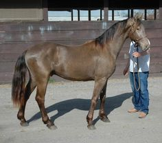 classic champagne - Friesian x Saddlebred stallion Ukiah Norsk