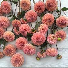 """Dahlia 'Bracken Rose', @junesblooms true love. #farmerflorist"""