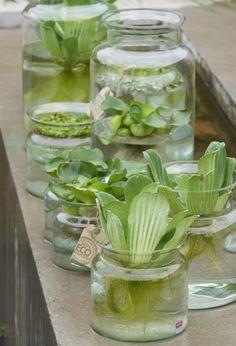 Glazen (Jodeco Glass) mini vijvers. Helemaal de trend van dit moment, zomer 2015. Met waterplanten van waterplantenkwekerij R. Moerings in het florist magazine DE POOK.