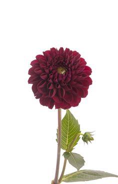 Burgundy Dahlia Flower - Dahlias - Types of Flowers | Flower Muse