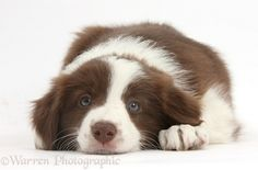 <3 Chocolate Border Collie puppy, 7 weeks old