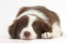 <3 Chocolate Border Collie puppy, 7 weeks old
