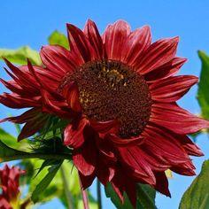 Red Sun sunflower...beautiful!