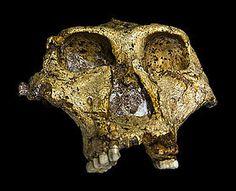 Crâne de Paranthropus robustus (SK 48) découvert à Swartkrans.
