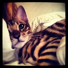 #teamkoko my favorite Bengal kitten mr. Koko :)
