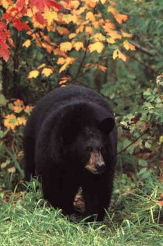 black bear - this looks like the largest guy I saw on Skyline Drive. It was such a thrill to see a magnificent animal like this!!