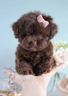 Female Chocolate Poodle Puppy
