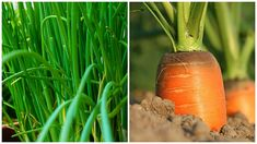 Zdravá zahrada | Prima nápady Carrots, Vegetables, Plants, Food, Gardening, Lawn And Garden, Essen, Carrot, Vegetable Recipes