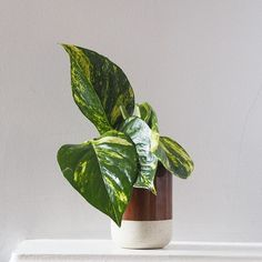 A golden #pothos vine has arrived courtesy of the #plantpostclub from @geo_fleur in a fabulous ceramic pot which we can use for a succulent once the pothos outgrows it's space. Which it will. Also known as Devils Ivy (Epipremnum aureus) as it's apparently impossible to kill. Well we'll see about that won't we? I do like a challenge.  #todaysgoodthing #botanicalpickmeup #aslowmoment #underthefloralspell #thebotanicalseries #liveauthentic #allthingsbotanical #seekthesimplicity #aquietstyle…