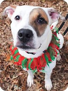 Atlanta, GA - American Bulldog/American Pit Bull Terrier Mix. Meet Tyson, a dog for adoption. http://www.adoptapet.com/pet/12087845-atlanta-georgia-american-bulldog-mix