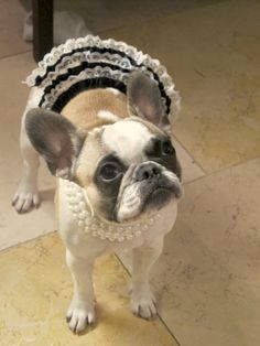 The Diva, French Bulldog Princess.