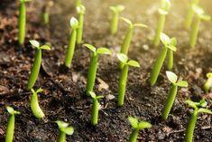 Cultiver de la cannelle chez vous