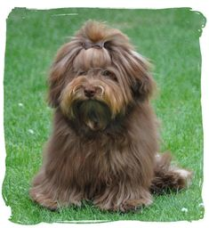 Havanese Puppies, Cute Puppies, Cute Dogs, Best Dog Breeds, Best Dogs, Dog Love, Puppy Love, Companion Dog, Lhasa Apso