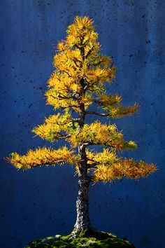 Autumn Larch, North Carolina Arboretum, Asheville, North Carolina; photo by Doug Hickok