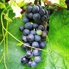 Same #PinotNoir grapes, 5 days later