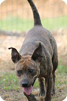 Sparta, TN - Terrier (Unknown Type, Medium)/Feist Mix. Meet Latte, a dog for adoption. http://www.adoptapet.com/pet/10860639-sparta-tennessee-terrier-unknown-type-medium-mix