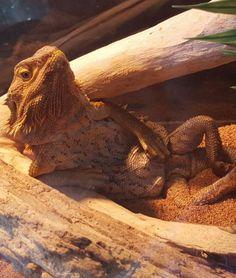 If Burt Reynolds was a lizard...wait a minute, I think he is...