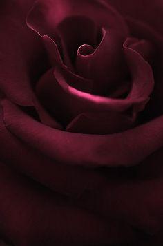 Deep Burgundy Rose