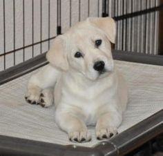 Lucas is an adoptable Yellow Labrador Retriever Dog in Egg Harbor, NJ. Sweet yellow lab puppy was rescued from Georgia, now in NJ fostercare ready for adoption. Lucas is friendly and playful, current ...