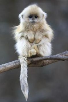 baby golden snub-nosed monkey - wow!  It looks like my Pomeranian cousin!  I should add this pet to my brood!