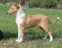 collies for sale in michigan - Google Search