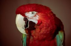 free wallpaper and screensavers for red and green macaw, Qeshaun Robin 2017-03-07