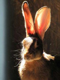 Belgian hare. EARS!!