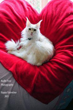 Gorgeous Valentine Cat