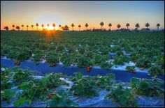 strawberry fields in Camarillo, CA