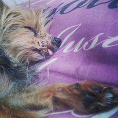 Meu Cachorro - Minha Paixão - Amor - Willy Joe - Yorkie - Yorkshire. Foto de Fabiana Pardini.