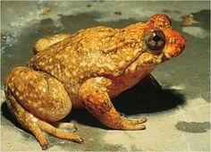 Purple Frog | Gastric-brooding Frog - List of Amphibians, Facts, Caecilians ...