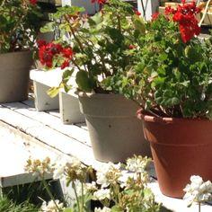 Geraniums at gazebo.