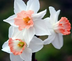 Pink daffodils lovely!!!