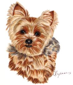"""Commissioned drawing of a Yorkie on Stonehenge paper - 8"""" x 8"""".  This was a practice.  Final will be on suede board. February 2013"""