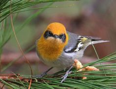 The olive warbler (Peucedramus taeniatus) is a small passerine bird. It is the only member of the genus Peucedramus and the family Peucedramidae.