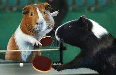 Guinea pigs guinea-pigs