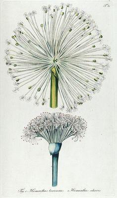 Plate 41, Fragmenta botanica, figuris coloratis illustrata. Vienna, 1809.