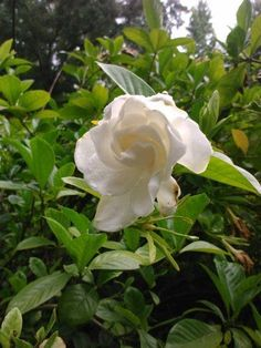 Gardenia-Gorgeous-White-Blooms-and-Glossy-Green-Leaves-Very-Fragrant-Tree-Plant