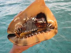 live specimen of the King Helmet Cassis tuberosa with the animal retracted into the shell. jpg (640×480)
