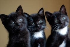 norma and her siblings   story here: http://lovemeow.com/2012/10/story-of-norma-the-black-kitty/#