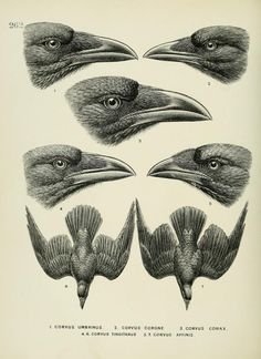 c 1.v.4 - A history of the birds of Europe : - Biodiversity Heritage Library